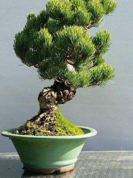کمیاب کاج سفید چینی 1 lace bark pine pinus bungeana 1 268x358 - بن سای کاج سفید چینی