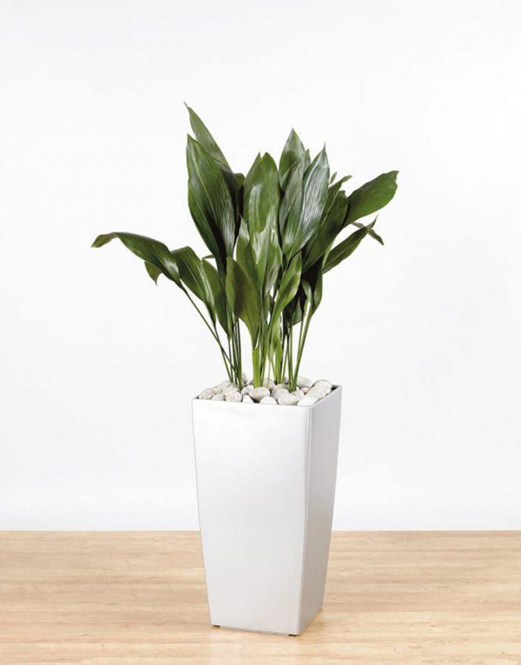 گل آپارتمانی برگ عبایی