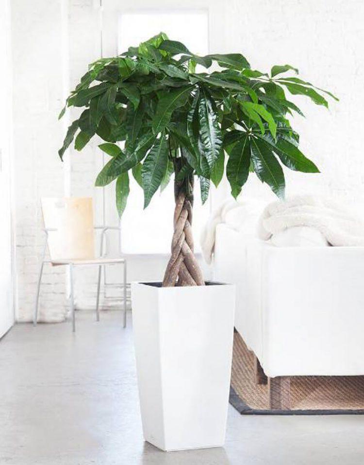 گیاه آپارتمانی پاچیرا
