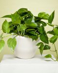 گیاه آپارتمانی پوتوس