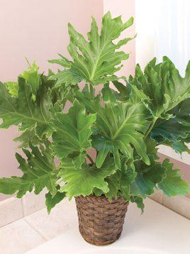 گیاه آپارتمانی برگ انجیری